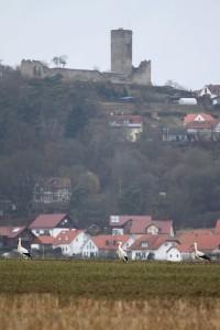 Weißstörche vor Mellnau im März 2013 - 1